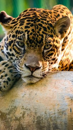 jaguar, wild, cat, sad face (vertical)