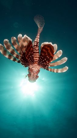 lionfish, fish, red sea, underwater, flying fish