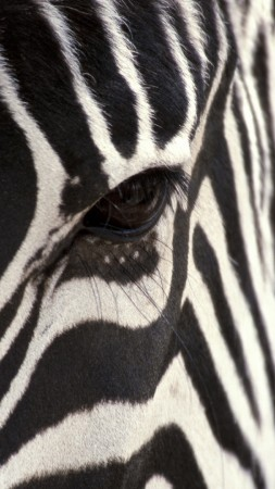 Zebra, Black & White, eye, strips (vertical)