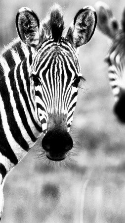 Zebra, Black & White, couple, cute animals (vertical)