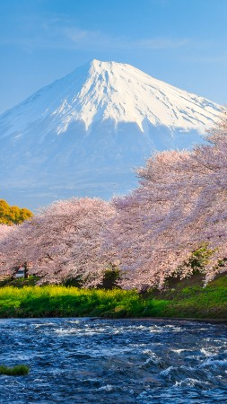 fuji, 4k, HD wallpaper, sakura, river, japan, travel, tourism, National Geographic Traveler Photo Contest (vertical)