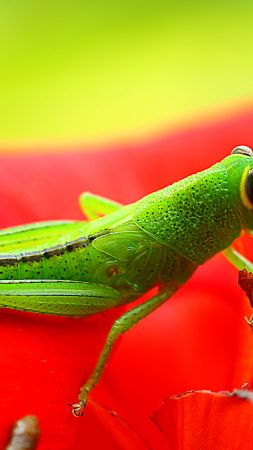 grasshopper, grig, green, flower, red, insects
