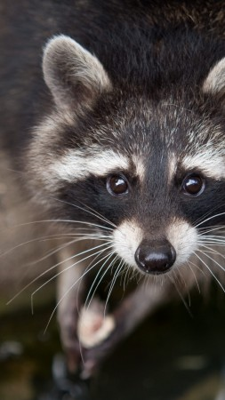 raccoon, eyes, look, fur, close-up, nature, animal (vertical)