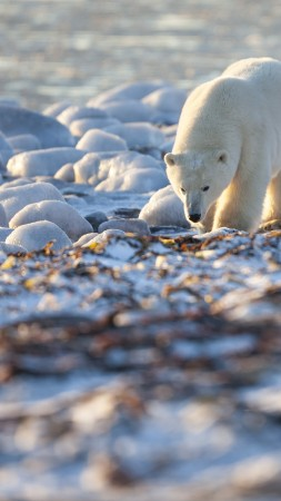 Bear, Polar Bear, Canada, shore, coast, white bear, sea, water, ocean, walk, sunny day (vertical)