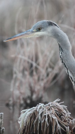 Bird, Hungary, Eastern Europe, grey, heron, pond, frost, Wildlife
