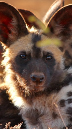 Wild dog, look, eyes, predator, fur, nature, animal (vertical)