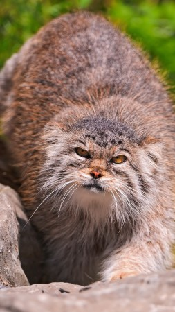 Pallas cat, wild cat, walk, green grass, stones, fluffy, sunny day (vertical)