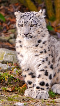 Leopard, snow leopard, sitting, watch, ground, nature, stones, cute (vertical)