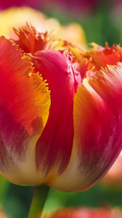 Tulips, flowers, android wallpaper, red, green