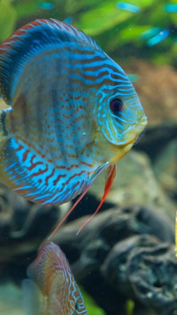 Discus, exotic, aquarium, fish, close up, water, blue, orange, World's best diving sites (vertical)