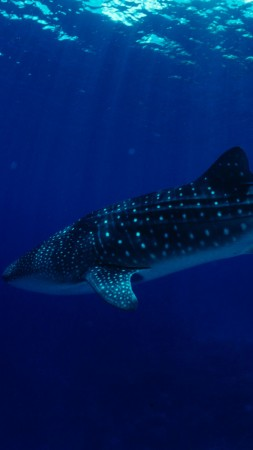 Philippines, South China Sea, Sharks, Whale Sharks, tourism, diving, underwater, blue sea, World's best diving sites