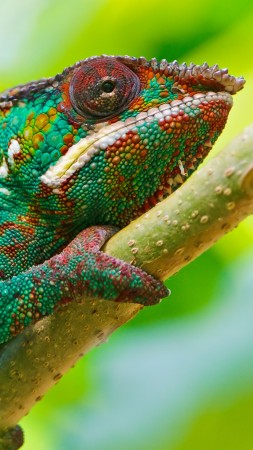 Chameleon, look, Colorful (vertical)