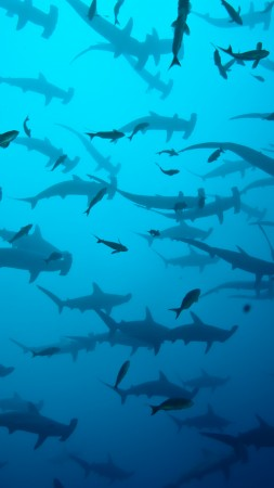 5k, 4k wallpaper, Scalloped hammerhead sharks, Cocos Island, Costa Rica, underwater, fish, water, blue, diving, tourism, school of sharks, ocean, sea, World's best diving sites (vertical)