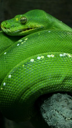 Python, Singapore, 4k, HD wallpaper, zoo, Emerald, Green, snake, eyes, close-up, tourism (vertical)