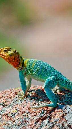 Crotaphytus collaris, Mexico, Lizard, colorful, stone, nature, tourism