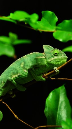 Chameleon, Madagaskar, rain-forest, green, leaves, eyes, black background (vertical)