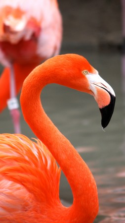 Flamingo, Sun Diego, zoo, bird, red, plumage, tourism, pond (vertical)