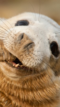 Grey seal, Scotland, Sable Island, funny, Teeth, Young, tourism (vertical)
