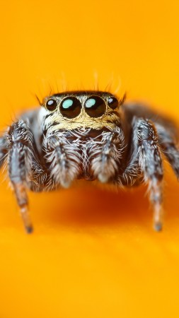 Jumping Spider, macro, black, eyes, yellow, insects, arachnid, cute
