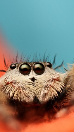 Jumping Spider, 5k, 4k wallpaper, 8k, macro, black, eyes, blue, orange, insects, cute, arachnid (vertical)