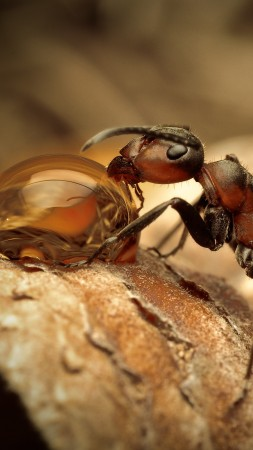 Ants, insects, water drops, macro, brown, Drinking, Water (vertical)