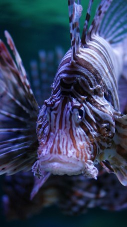 Lionfish, 5k, 4k wallpaper, Budapest, Tropicarium, Oceanarium, aquarium, water, underwater, purple, fish, tourism, diving, World's best diving sites (vertical)