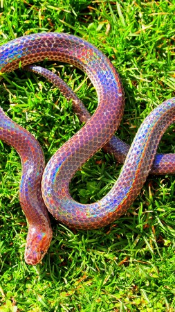 Sunbeam snake, Myanmar, southern China, Philippines, green grass, holographic, amazing, skin, tourism