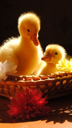 Ducklings, yellow, basket, flowers, sunny day, table, cute, animal, pet (vertical)
