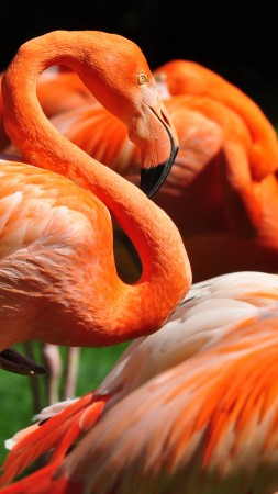 Flamingo, Sun Diego, zoo, bird, red, plumage, tourism, green grass, tourism (vertical)