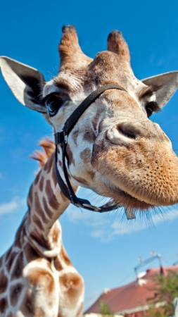 Giraffe, Berolina Circus, Berlin, Germany, blue sky, circus, funny, close-up, tourism (vertical)