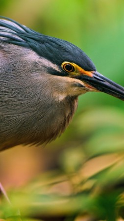 Great bittern, Portugal, Japan, Sakhalin, bird, eyes, green, nature, grey, nest, beak, animal, tourism (vertical)