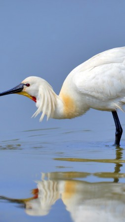 Eurasian spoonbill, 5k, 4k wallpaper, Japan, North Africa, bird, white, animal, nature, water, lake, reflection (vertical)