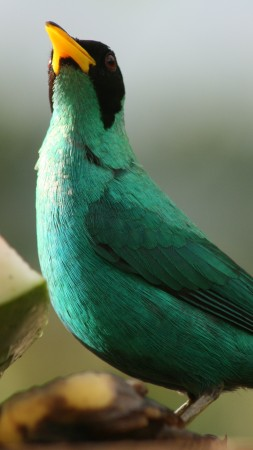 Green Honeycreeper, bird, emerald, watermelon, blur, nature, animal (vertical)