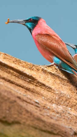 Northern carmine bee-eater, Central African Republic, tourism, branch, pink, red, eyes, nature, animal, birds (vertical)
