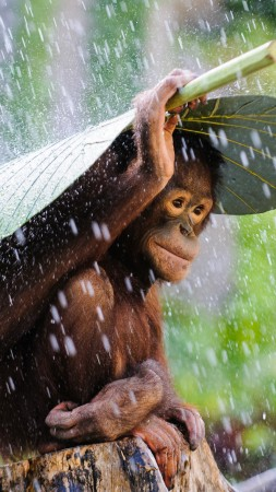 Chimpanzee, Congo River, tourism, banana, leaves, rain, monkey, nature, animal, green (vertical)