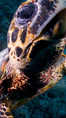 Turtle, Bloody Bay Wall, Little Cayman, Caribbean, , diving, tourism, sea, ocean, water, underwater, gopro, bottom, blue (vertical)