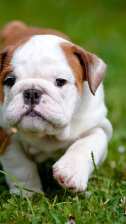 bulldog, puppy, 4k (vertical)