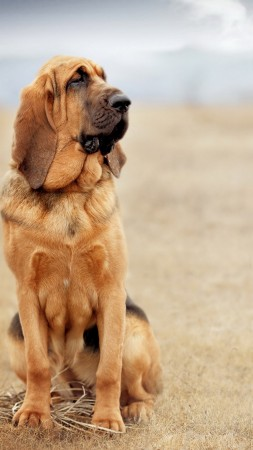 dog, bloodhound, 4k (vertical)