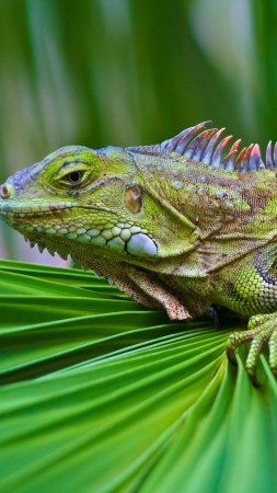 iguana, green, 6k (vertical)