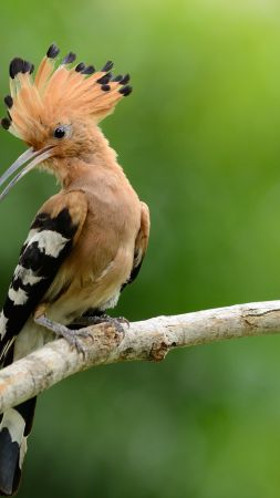 hoopoe, bird, 4k (vertical)