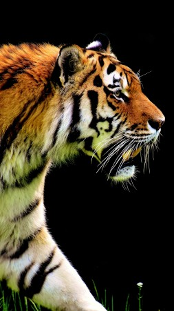 tiger, 4k (vertical)
