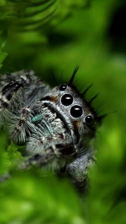 Jumping Spider, eyes, insects, leaves, green, nature, cute (vertical)