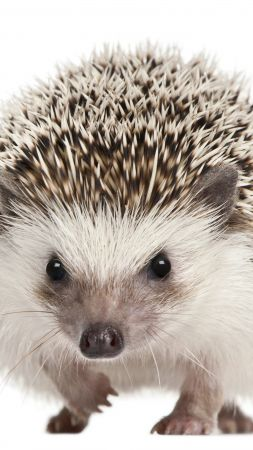 hedgehog, cute animals, 5k (vertical)
