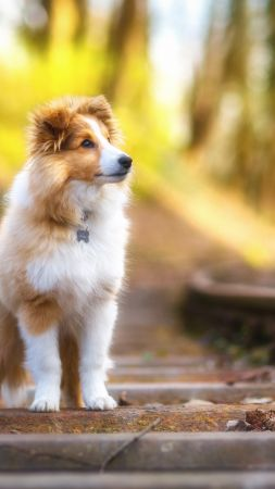 Shetland Sheepdog, puppy, cute animals, 4k (vertical)