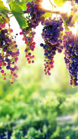 grapes, 8k (vertical)