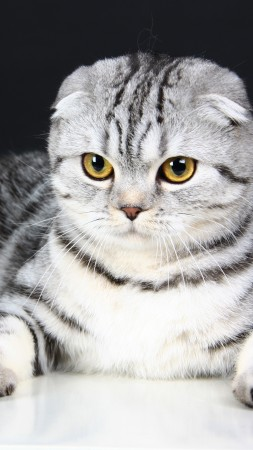 Scottish Fold, Cat, kitten, eyes, gray, wool, cute, animal, pet