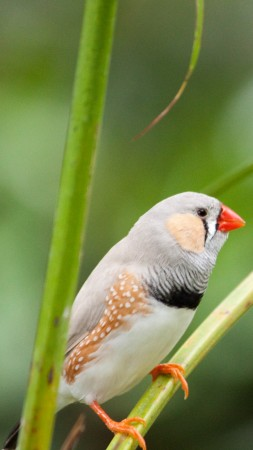 zebra finch, bird, 4k (vertical)