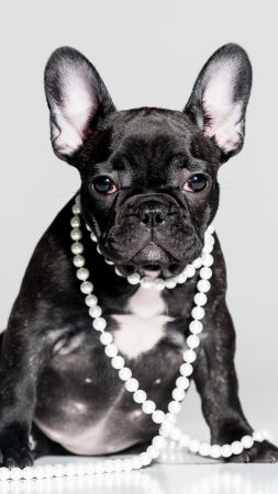 French Bulldog, puppy, cute animals, 5k (vertical)