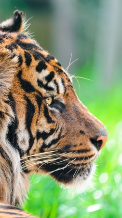 Tiger, 5k, 4k wallpaper, green grass, close, nature, wild, animal (vertical)