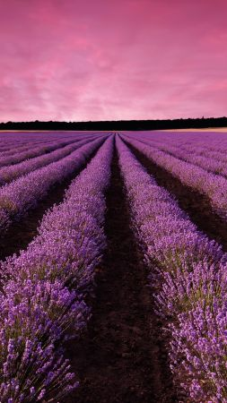lavender, field, sky, mountain, Provence, France, Europe, 5k (vertical)